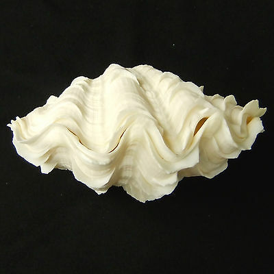 1 Pair Tridacna Squamosa Fluted Giant Scaly Clam Seashell 13.5cm Free Ship 277d