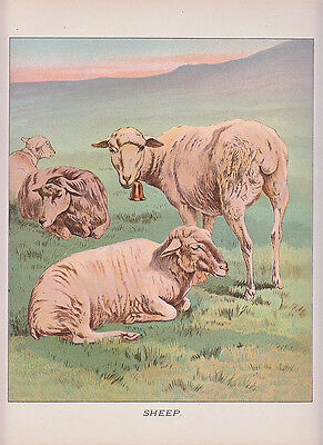 Sheep - Early Sheep Flock In Pasture Litho Antique Art Print 1892