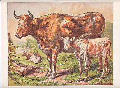 Cows With Calf In Pasture Barnyard Animals Antique Print 1882