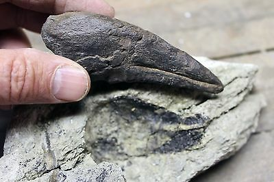 Allosaur Dinosaur Foot Claw Impression in Sandstone from Wyoming