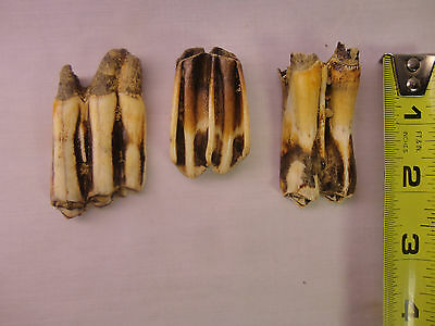 fossil BISON tooth Ice AGE  lot of 3 Arkansas River Oklahoma AGATIZED NICE COLOR