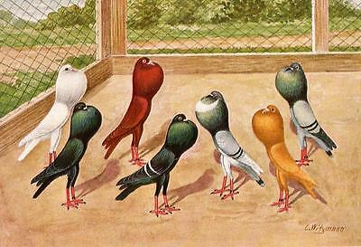 Brunner Pouters Pigeon Glossy Textured Print C. Witzmann