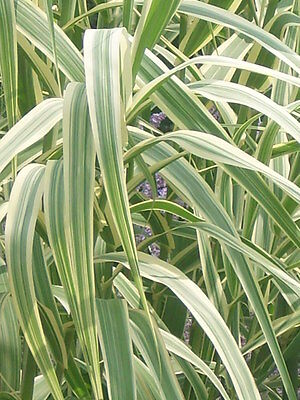 40 GIANT VARIEGATED REED GRASS SEEDS ( Arundo donax 'Peppermint Stick' )