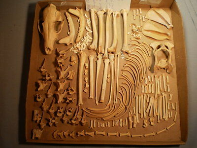Taxidermy skeleton real red fox disarticulated clean sorted by bone type