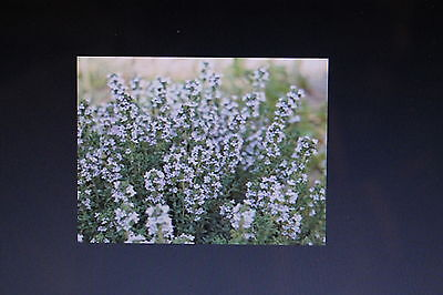 30 Seeds French Thyme, Thymus Vulgare #516