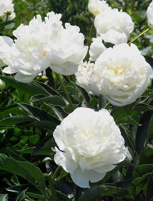 5 POLYPHYLL WHITE TREE PEONY SEEDS - (Paeonia suffruticosa)