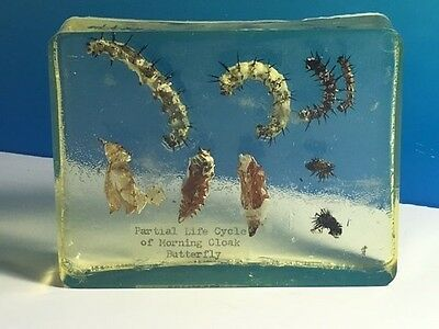Real Fossil Insects Life Cycle Of Morning Cloak Butterfly Arthropod Specimen Usa
