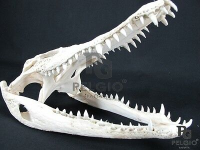"PELGIO Real Freshwater Crocodile Skull Taxidermy Head 12"" with CITES Free Ship"