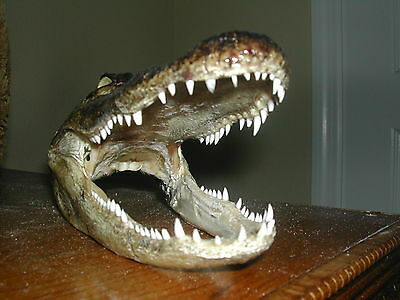 Our Finest! Genuine Killer 6.5 Inch Florida Gator Head W/ 4 Inch Mouth Opening