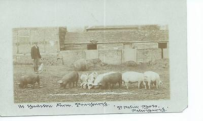 Herefordshire RP of pigs at Chanston Court Farm, Michaelchurch Esceley  @ 1908