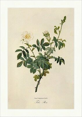 Filz - Rose Rosa Tomentosa Smith Rosier Tomenteux Strauch Stacheln Redoute 146