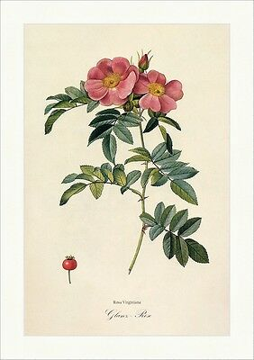 Glanz - Rose Rosa Virginiana Rosier Feuilles Luisantes Sommerblüher Redoute 281