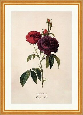 Essig - Rose Rosa Gallica French Rosier Vollblütig Stacheln Redoute 155