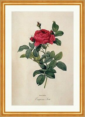 Essigrosen Sorte Rosa Gallica Variety French Rose France Rosier Redoute 157