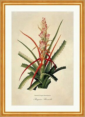 Pinguin-Bromelie Bromelia Pinguin Bromeliaceae Ananas Frucht Rot Redoute 014