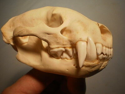 Badger Taxidermy SKULL 5   inches HUGE great teeth perfect