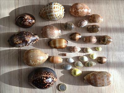 Lot 29 porcelaines Cypraea  New Caledonia Collection 1970 coquillages seashell