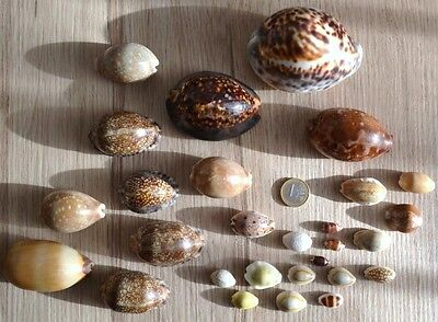 Lot 28 porcelaines Cypraea  New Caledonia Collection 1970 coquillages seashell
