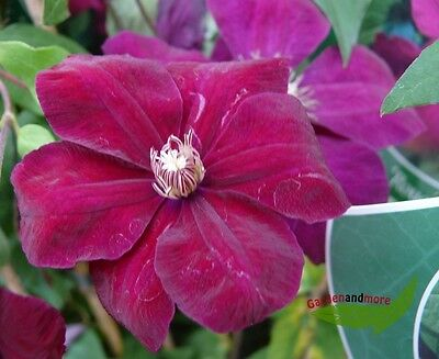Clematis Rouge Cardinal - leuchtende Farbe