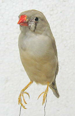 Taxidermy  Stuffing Nice Zebra finch only iron wire - Real Bird Parrot  Canary