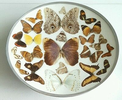Large Framed Brazil Butterfly Taxidermy 22 Butterflies Moths Small Large Giant