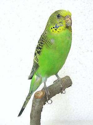 Taxidermy Stuffing : Budgerigar with base Real Bird- perfect collectibles canary