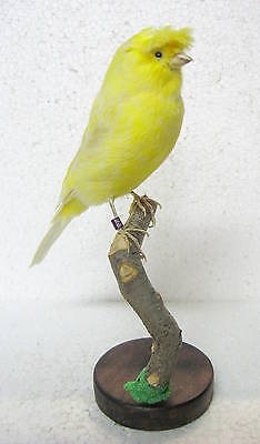 Taxidermy  Yellow Gloster Canary with base Giant  Parrot perfect for collection