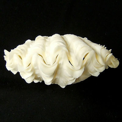 1 Pair Tridacna Squamosa Fluted Giant Scaly Clam Seashell 13cm FreeShipping 299d