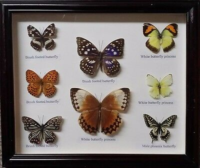 8 Real framed Butterfly collection