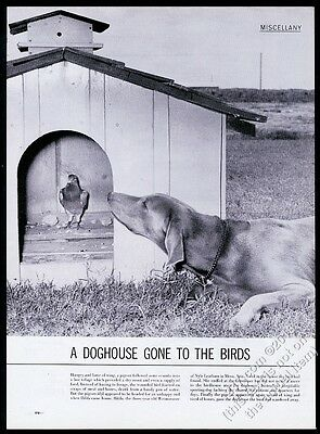 1959 Weimaraner dog and pigeon in doghouse photo vintage article
