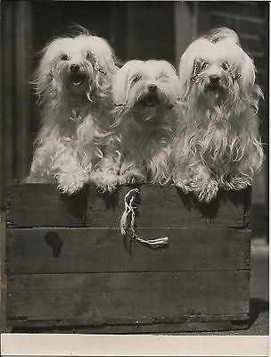 Named Maltese Dog Group At 1946 Dog Show Real Press Photograph