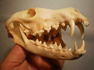 Taxidermy SKULL red fox very clean nice 6    inches  great teeth