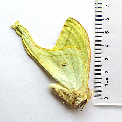 GREEN unmounted butterfly / moth moon silkmoth Actias selene MALE #10
