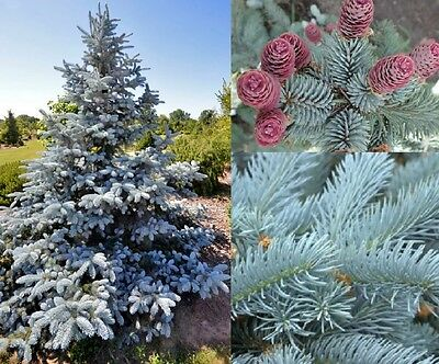 1X Large Picea Pungens Hoopsii - Bright Blue Colorado Spruce Tree - 5L