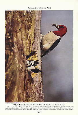 Red-headed Woodpecker seems to ask What's going on here 1942 magazine photo