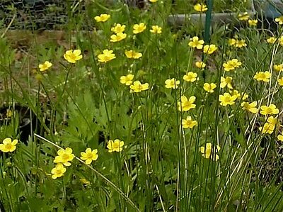 30 SWAMP BUTTERCUP SEEDS  - Ranunculus hispidus