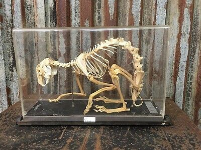 Vintage Science Antique Full Skeleton Of A Hare Taxidermy Rabbit Collectors