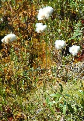 20 Tawny Cottongrass -  Eriophorum virginicum seeds