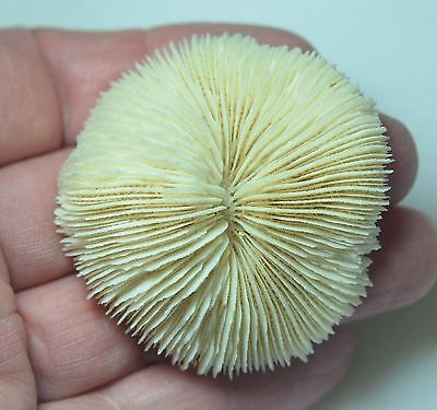 "SPECIMEN  MUSHROOM CORAL app 2"" - 52 mm  SMALL    NICE FOR STARTER COLLECTION"