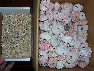 2 sea urchins and 100 brown fossil shark teeth per lot