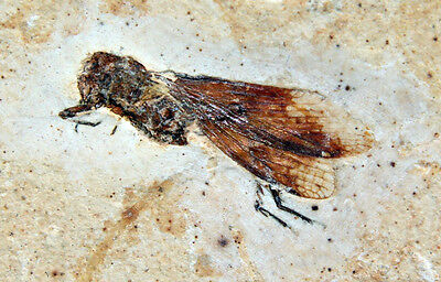 Fossil Insect #12 from the Crato Formation in Brasil