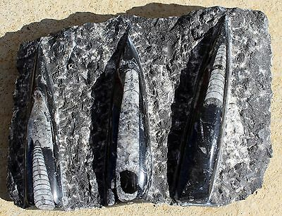 Multiple Orthoceras #1703  from Morocco • Devonian Age Cephalopod