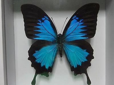 Real Papilio Ulysses Blue Emperor Butterfly Display Insect Taxidermy In Frame