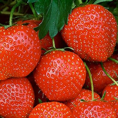 100 x STRAWBERRY ELSANTA BARE ROOT PLANTS READY NOW  FREE POSTAGE