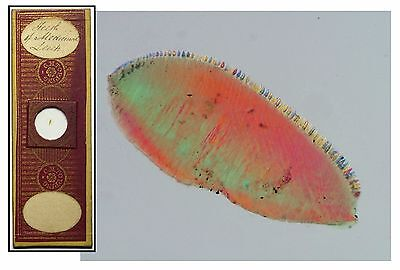 Antique Papered Microscope Slide ~ Teeth of Medicinal Leech ~ by C.M. Topping