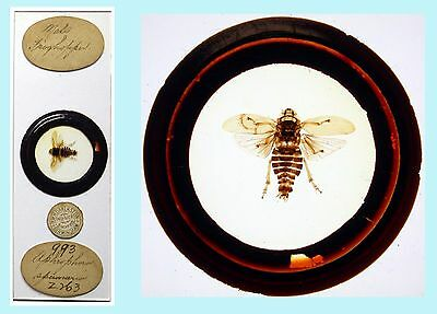 Antique Microscope Slide ~ Whole Insect Mount by H.W.H. Darlaston