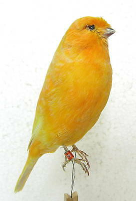 Taxidermy  Stuffing Super Orange Norwich Canary only wire - Real Bird - Parrot