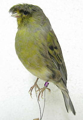 Taxidermy Gloster Canary  iron wire Real Bird Parrot perfect preparation