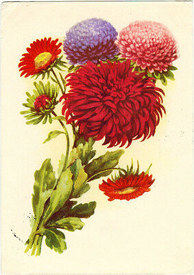 1954 Soviet Russian card ASTERS drawing by I.Romanov