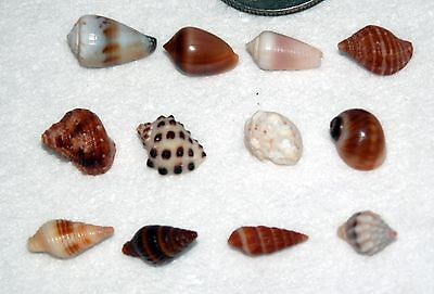 Excellent Hawaii Micro Shell Collection of 12 Different Hawaiian Micro Shells #2